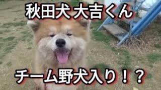 秋田犬大吉くんを野犬チームへ! チーム大吉を復活させたい! Dog Rescu...