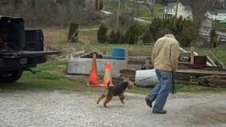 "Dog Training ""heel"" With An Adult Male Welsh Terrier"
