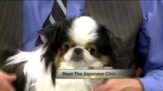 Meet the Japanese Chin