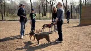 Коррекция агрессии собак - ввод в группу на площадке