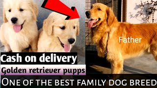 Cash on delivery ! golden retriever puppies available for sale