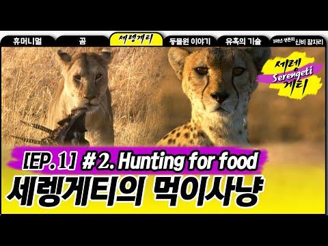 Hunting for food - Wildlife in Serengeti EP01, #02, 먹이사냥