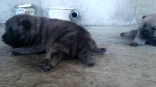生後16日のヨチヨチはいはい…この兄弟の母犬、朱利桜は27年4月5日に東...