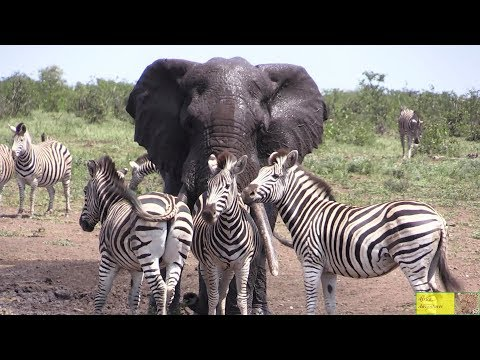 Watch Beautiful Elephant And Zebra Friendship