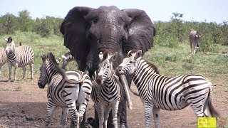 Watch Beautiful Elephant And Zebra Friendship