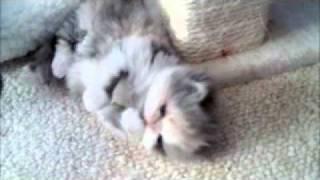 Ziakatz Kittens Playing-Cali the dilute calico