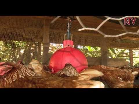 On the farm: Luweero poultry farmer uses unique model