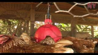 On the farm: Luweero poultry farmer uses unique model thumbnail