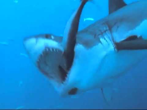 White Shark Dive Guadalupe Island   861240 Views