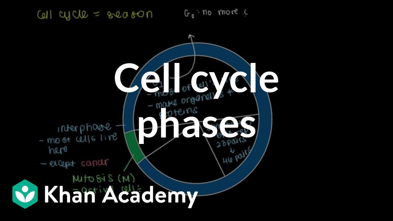 Cell cycle phases (video)   Cells   Khan Academy [ 720 x 1280 Pixel ]