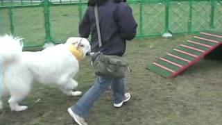 立川昭和記念公園のドッグランフェスタ2010に行った時に、アジリティ体...