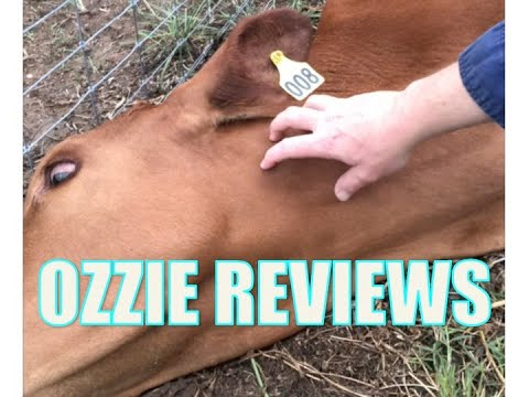Nursing A Sick Steer With 3 Day Virus (bovine Ephemeral Fever In Cow Cows Steers Cattle)