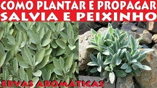 Como Plantar Salvia e Peixinho, todas as  dicas de propagação!
