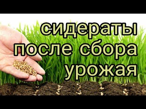 Как посадить сидераты после уборки урожая