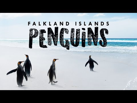 Penguins of the Falkland Islands in 1 Minute! 🐧