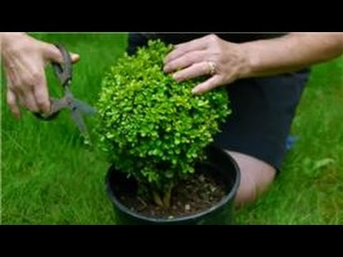 Maintaining & Pruning Shrubs : How to Trim a Topiary