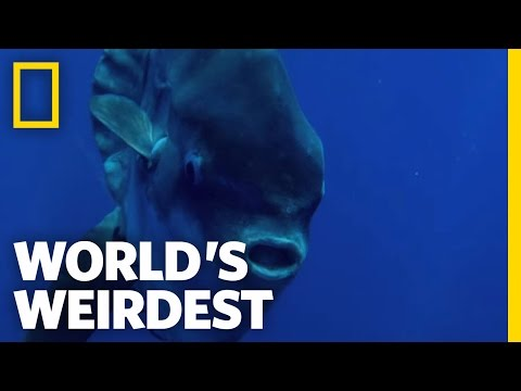 Seagulls Help Sunfish | World's Weirdest
