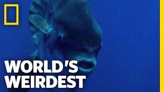 Seagulls Help Sunfish | World's Weirdest