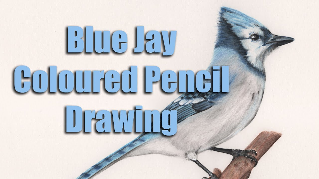 drawing a blue jay in coloured pencils youtube