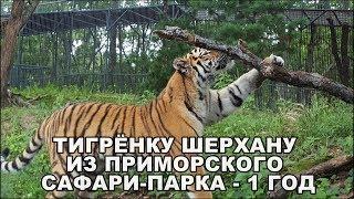 ТИГРЁНКУ ШЕРХАНУ ИЗ ПРИМОРСКОГО САФАРИ-ПАРКА  - 1 ГОД