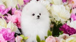 Хочу собаку. Померанский шпиц: белый, кремовый.
