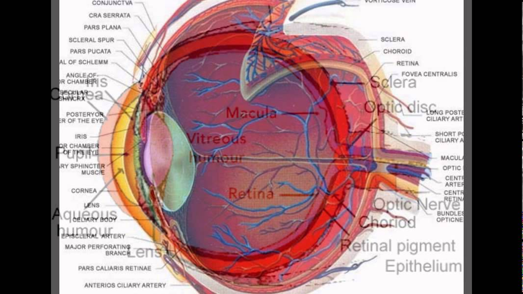 Structure Of An Eye Youtube