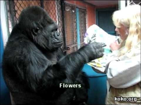 Koko learns a new sign: Butterfly