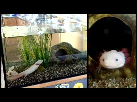 Aquarium Setup: Axolotl Tank (Ambystoma Mexicanum) - How To Set Up An Axolotl Tank