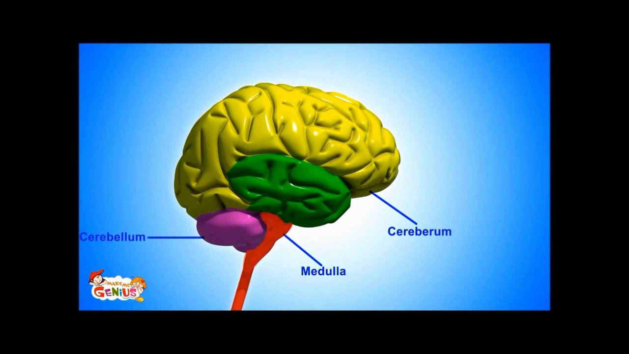 parts of brain and its function pdf