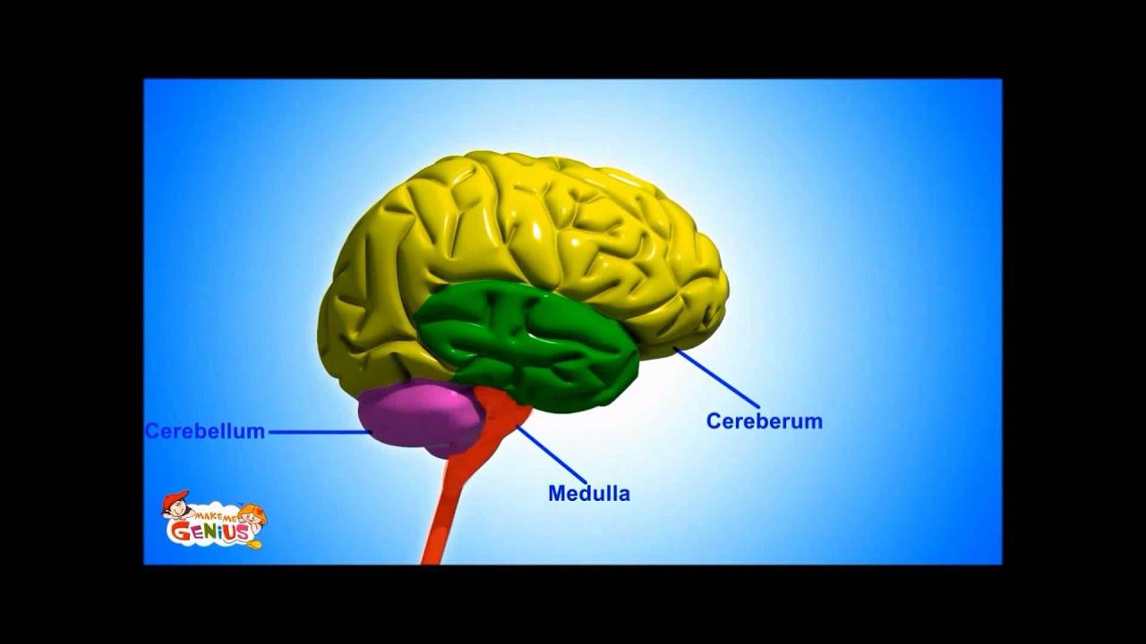 Medulla ( Brain Stem ) - Functions Video for kids by ...
