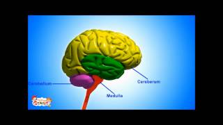 Medulla ( Brain Stem ) - Functions Video for kids by makemegenius.com