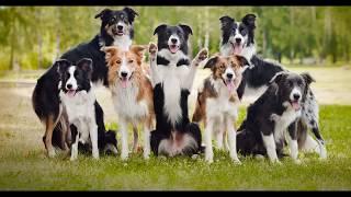 Бордер-колли (Border Collie) - порода собак