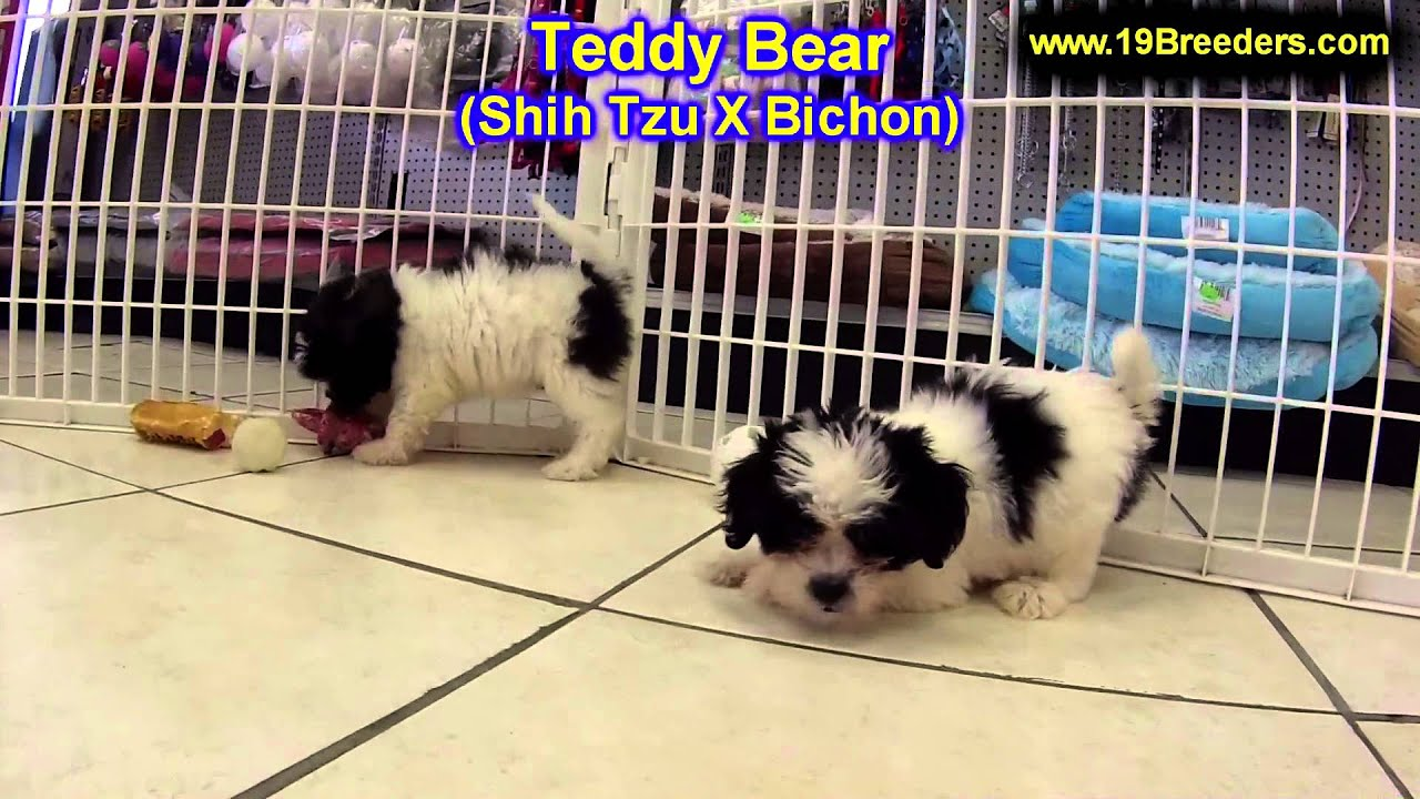 Shichon puppies for sale in indiana - Teddy Bear Puppies For Sale In Lansing Michigan Mi Oakland Macomb Kent Genesee Washtenaw Youtube
