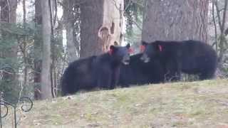 Avon CT Black Bears Playing April 19th 2015