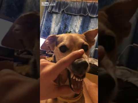 La La lala Dog - Funny Dog Fails !
