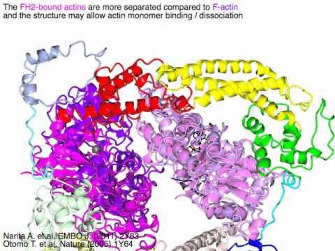 Formin homology domain 2