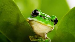 Картинка земноводное. Макро, лягушка, листья | Amphibian picture. Macro, frog, leaves