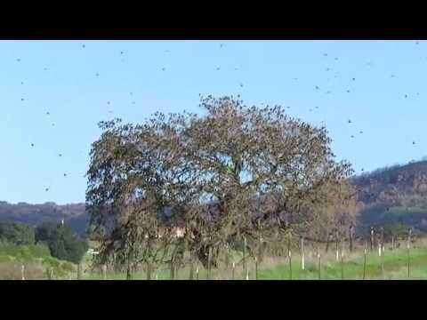 Thousands of birds in a tree - Skyline Wilderness Park - Napa, California