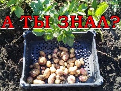 Картофель из семян: мини-клубни