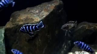 Демасони (Pseudotropheus demasoni)(, 2016-05-22T10:33:44.000Z)