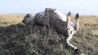 Video Cheetah scared by warthog - Safari Sunday download MP3, 3GP, MP4, WEBM, AVI, FLV Juni 2018