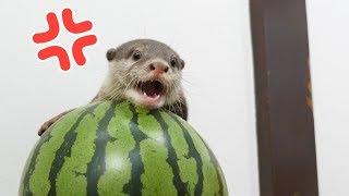 【西瓜の主】スイカを叩くと助けに入るカワウソのビンゴOtter Bingo come to the rescue of the watermelon thumbnail