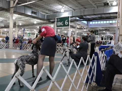 German Shorthaired Pointers – AKC Dog Show – Columbus 2016