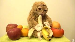 Кошкаобезьяна Новогодний кот в костюме обезьяны ест бананы 2016 02.01.16