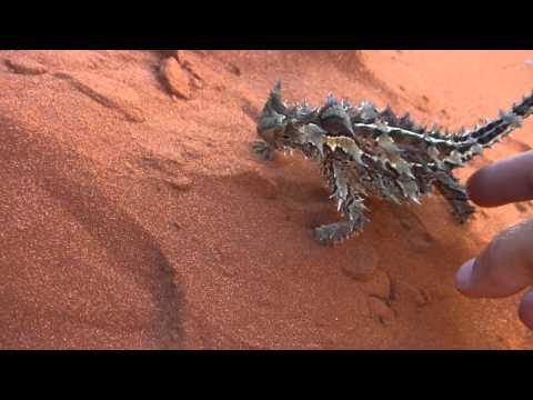 Thorny Devil spotkany w Północnej Australii po polsku Moloch Straszliwy ;)