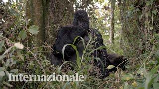 Chi protegge le foreste e i gorilla dell'Africa centrale