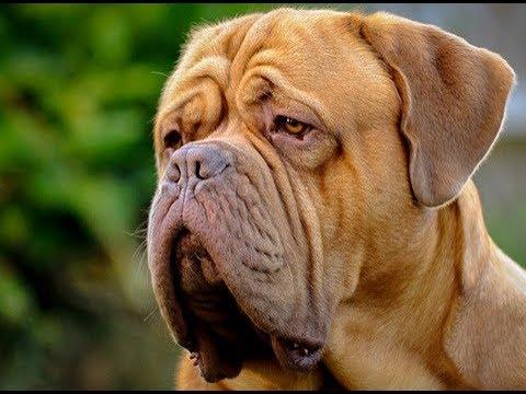 Dicas De Como Cuidar De Um Dogue De Bordeaux Youtube