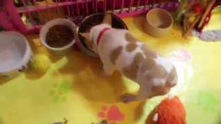 Frenchie Puppies Playing In Nursery 1-10-15 Aristocrat French Bulldogs