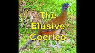The Elusive Cocrico T&T