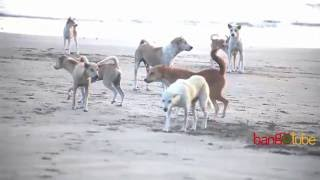 Dog Fight in St. Martin's Island